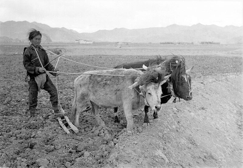 Ackerbau in Tibet in den 1940er-Jahren