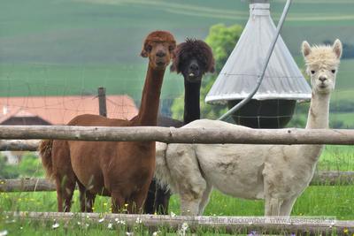Alpakas beim Edhof in Maierhof