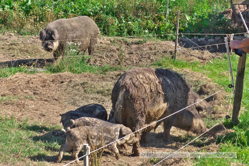 Mangaliza-Schweine